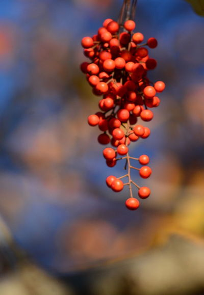 Autumn red berries on a branch, fall colors and foliage Autumn Colors Berries Nature Autumn🍁🍁🍁 Beauty In Nature Focus On Foreground Foliage Red Berries, Red Color