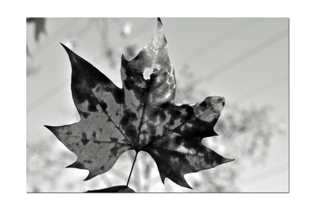 Autumn's Fallout 12 Don Castro Park Leaves🌿 Autumn Autumn Leaves Leaves_collection Bnw_friday_eyeemchallenge Bnw_leaves Fall Nature Beauty In Nature Nature_collection Monochrome Photograhy Monochrome Leaf Black & White Black And White Photography Black And White Collection  Black And White Tree Hand Holding Leaf Botany Power Lines