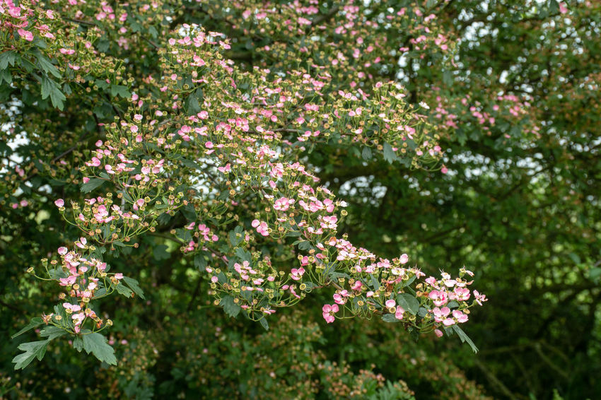 Pink Blossom on large tree in Typical English Hedgerow Haewthorne Beauty In Nature Blossom Contryside Flower Flowering Plant Freshness Growth Outdoors Plant Springtime Wild