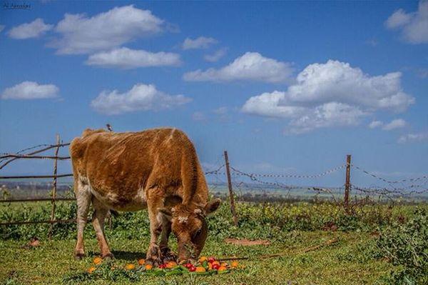 اقسنطة - المرج . . Nutrition Libyan Cow CAnon_7D Canon Iphotography Photography Canon_photo Iphoto