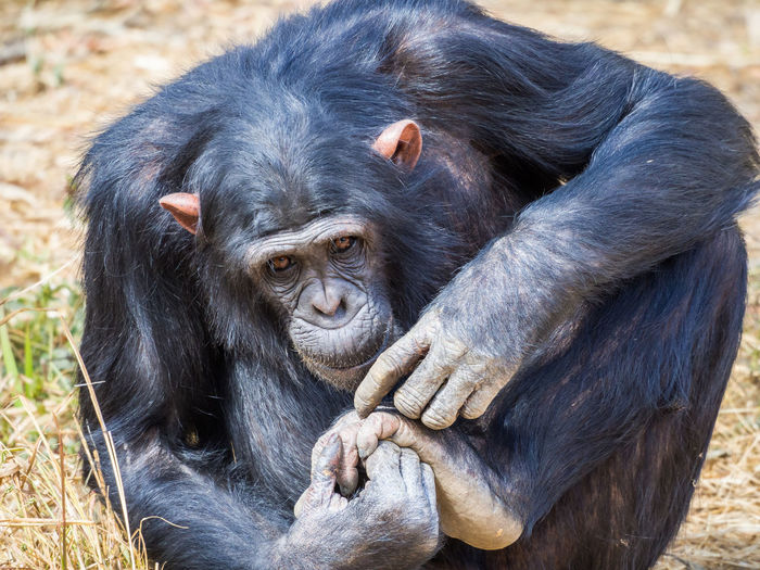 Close-up portrait of chimpanzee grooming, zambia, africa