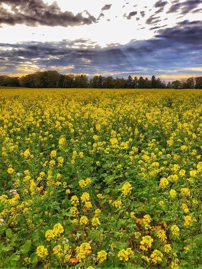 Field Flowering Plant Environment