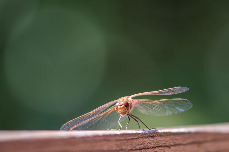 Close-up of dragon-fly with blurred background