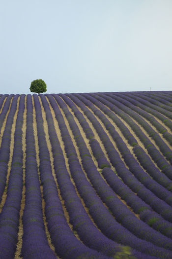 Lonely tree on a lavender field Agriculture Beauty In Nature Clear Sky Copy Space Europe Farm Flowers France Growth In A Row Landscape Lavander Nature No People Outdoors Pattern Provence Repetition Rural Scene Scenics Senanque Sun Tranquil Scene Tranquility Valensole