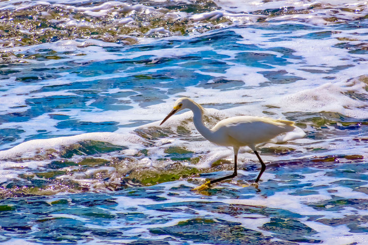 Heron looking for food Animal Themes Animal Wildlife Animals In The Wild Bird Day Gray Heron Great Egret Heron Nature No People One Animal Outdoors Wading Water