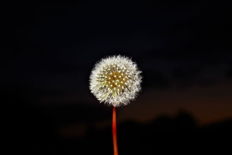 Beauty In Nature Black Background Canon Close-up Dandelion Day Flower Flower Head Focus On Foreground Fragility Freshness Growth Nature No People Outdoors Photography Plant Seed Softness Springtime Uncultivated The Minimalist - 2019 EyeEm Awards