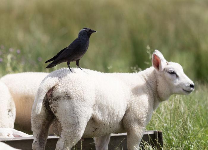 Raven On Sheep