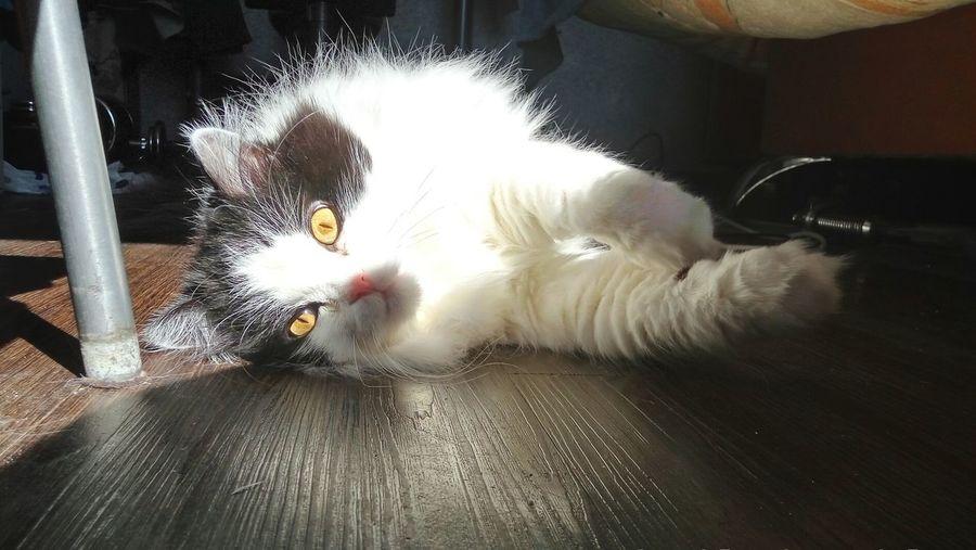 Cat Cat♡ Animals what are you doing Siberia Novosibirsk котан
