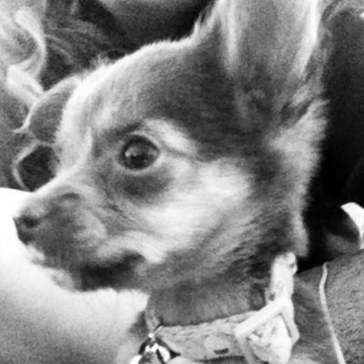 Puppy Chorkie Yorkie Chihuahua cute mylife mybaby adorable onepound
