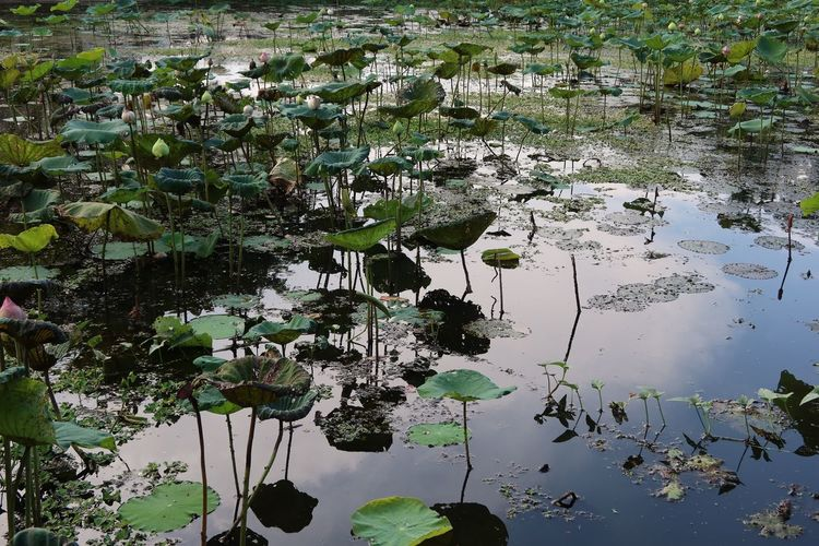 High angle view of water lily amidst leaves floating on lake