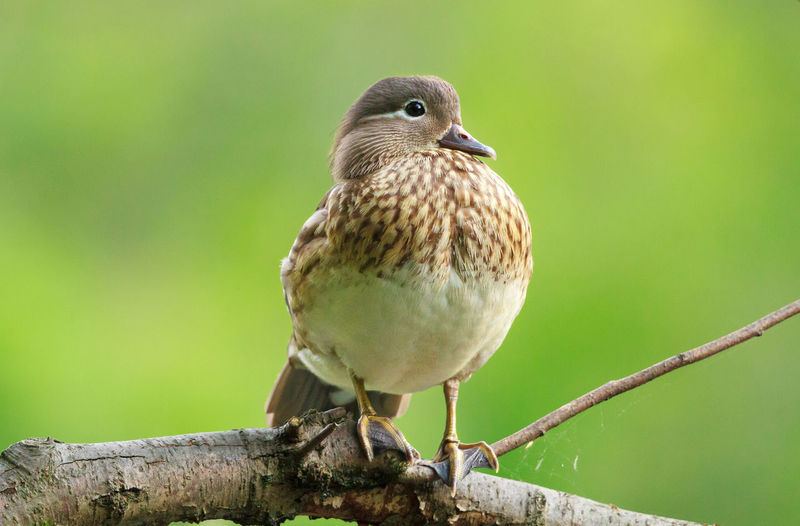 Close-up of female mandarin duck perching on tree