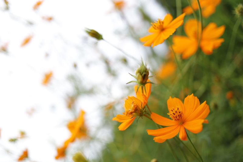 Close-up of orange cosmos flowers blooming outdoors