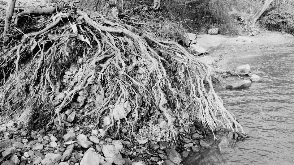 River Severn Riverwalk Roots Trees Blackandwhite