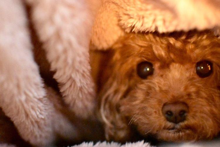 Toypoodle My Toypoodle My Pets Dog I Love My Dog Cute Pets Cute Dog  Goodnight Cute OpenEdit Pets EyeEm Best Shots