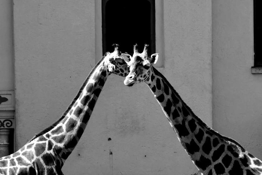 I've got a secret. Giraffe♥