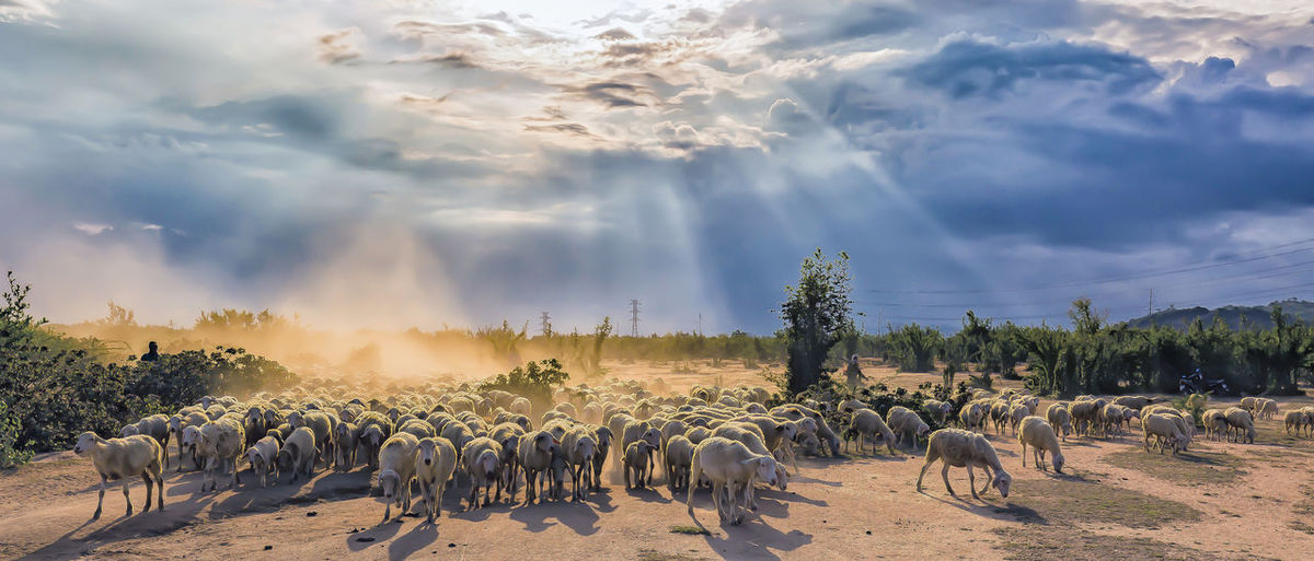 About the stables of the sheep Cloud - Sky Day Domestic Animals Flock Of Sheep Landscape Sheep