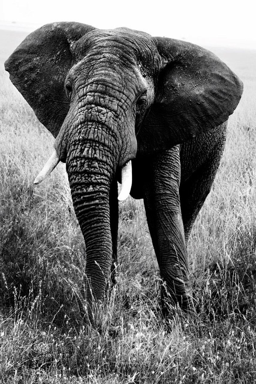elephant, grass, animal trunk, one animal, animal themes, trunk, african elephant, tusk, outdoors, mammal, safari animals, animals in the wild, field, no people, day, standing, nature