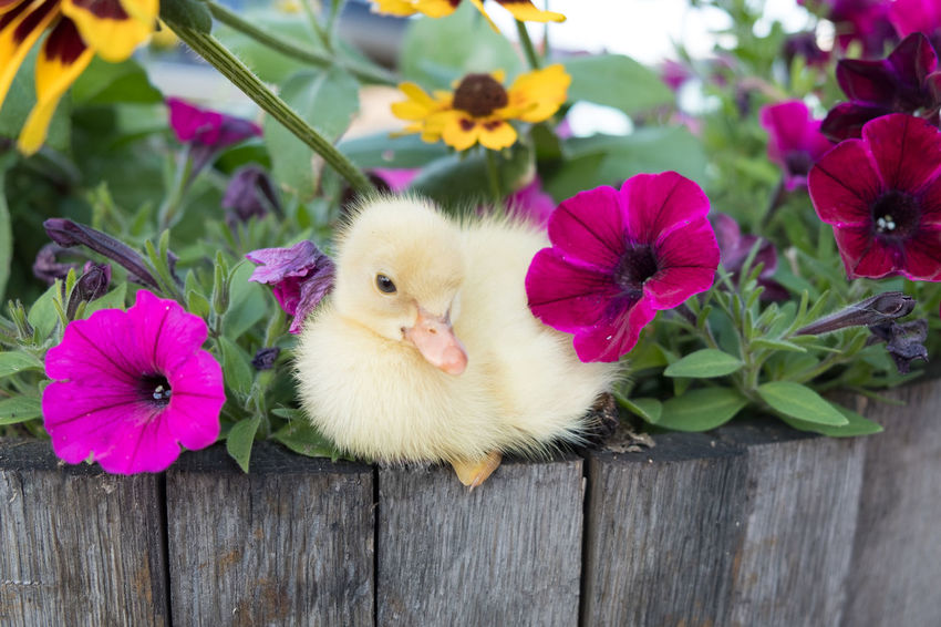 Farm Animals Animal Animal Themes Baby Duck Day Domestic Animals Flower Flowering Plant No People Outdoors Pink Color Plant