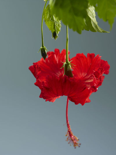 malaysia national flower bunga raya or hibiscus Hibiscus Rosa-sinensis Natural Nature Beauty In Nature Bunga Raya Close-up Flora Flower Flower Head Flowering Plant Focus On Foreground Fragility Freshness Growth Hibiscus Indoors  National Flower No People Ornamental Plant Petal Plant Red Studio Shot Tropical Vulnerability