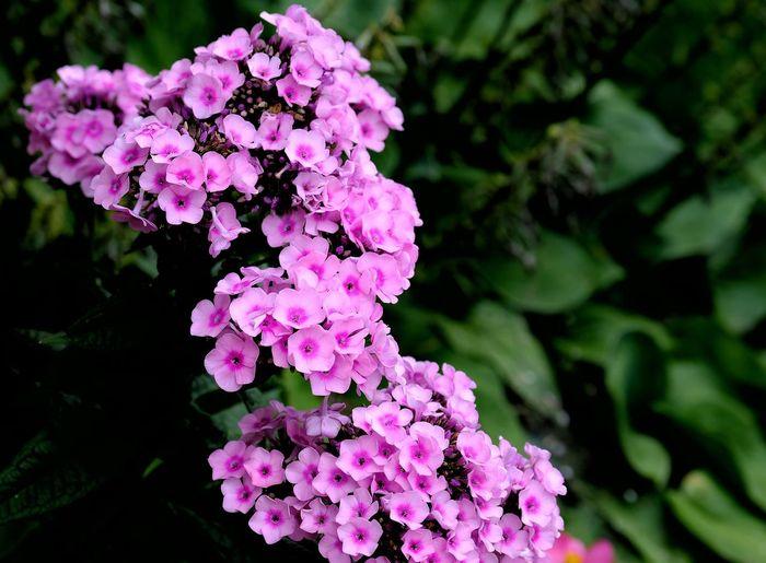 Pink or violet