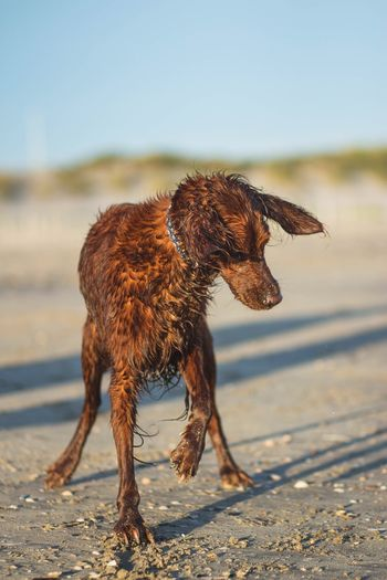 Animal Animal Themes Mammal One Animal Dog Domestic Animals Canine Beach Water Pets Domestic No People Vertebrate Focus On Foreground Land Wet Nature Day Brown Outdoors