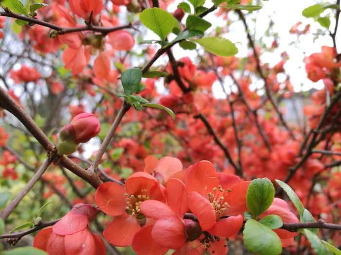 Red Flowers Nature Red Spring Springtime Spring Flowers Spring Has Arrived Chaenomeles Japanese Quince Flowers And Wall