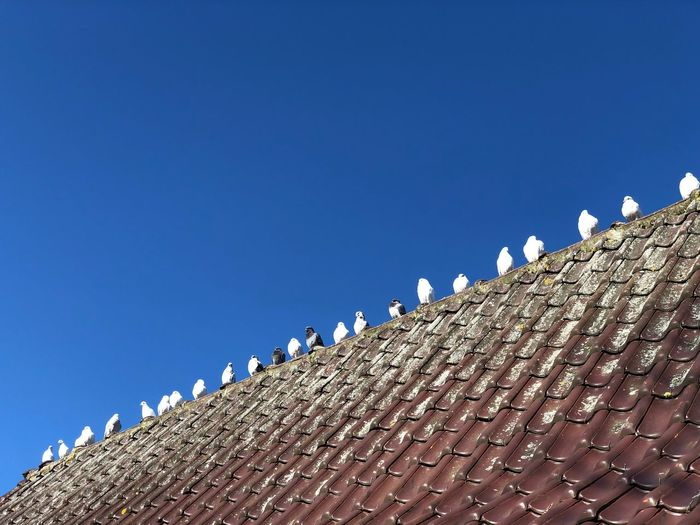Low angle view of birds perching on roof against clear blue sky
