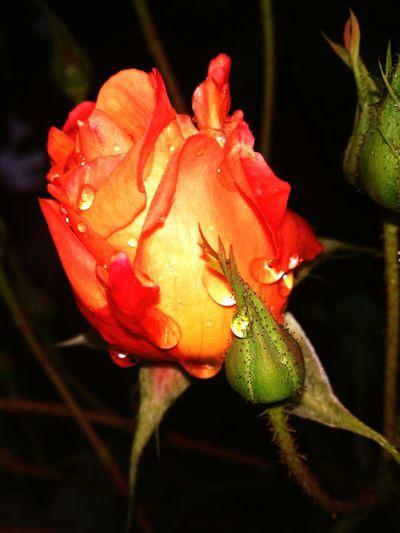 Rosa Bocciolo