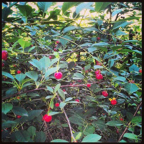 Cherry Thedatcha Bestdaysofsummer