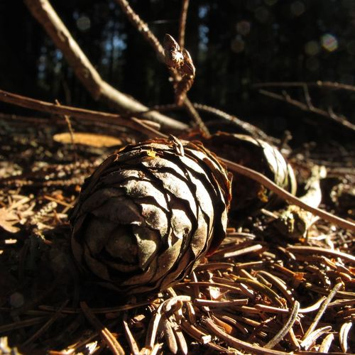 Brown Close-up Cone Day Focus On Foreground Forest Needles No People Outdoors Spruce Sunlight Tree