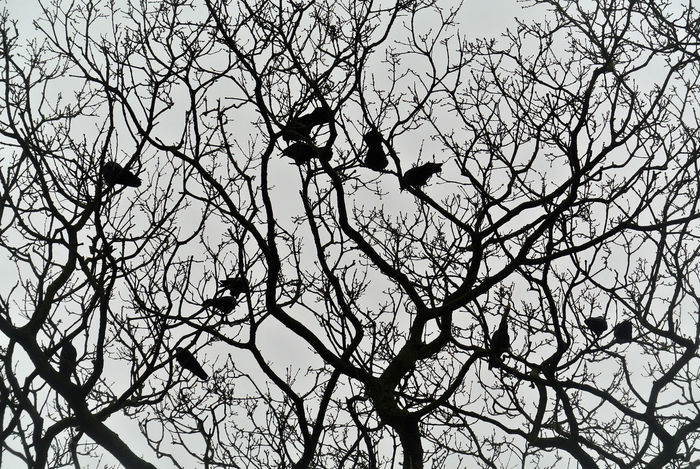 Animal Wildlife Animals In The Wild Bare Tree Bird Branch Group Of Animals Perching Rooks Silhouette Tree