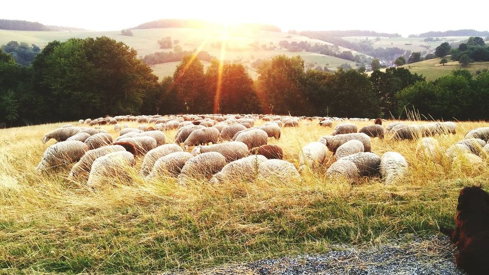 Sheep Sunlight
