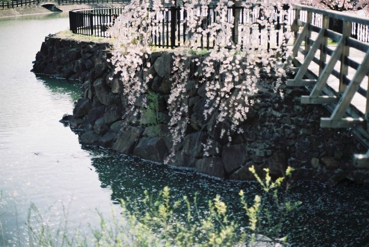 茶屋沼の枝垂桜、弐。 茶屋沼 枝垂桜 Chaya Swamp Sakura Cherry Blossoms Canon Ftb Film Photography