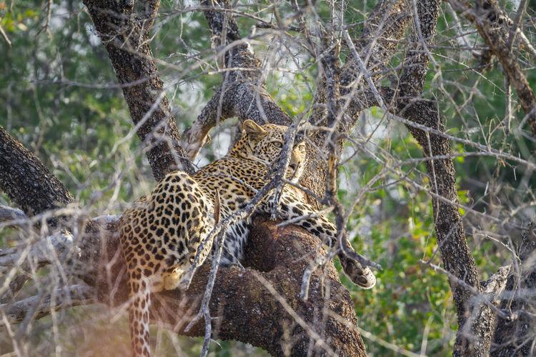 Leopard sitting on tree branch
