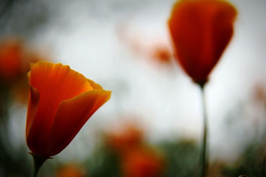 sprang time Nature Arboretum Ucdavis Spring California California Poppies Red Blooming Plant Life