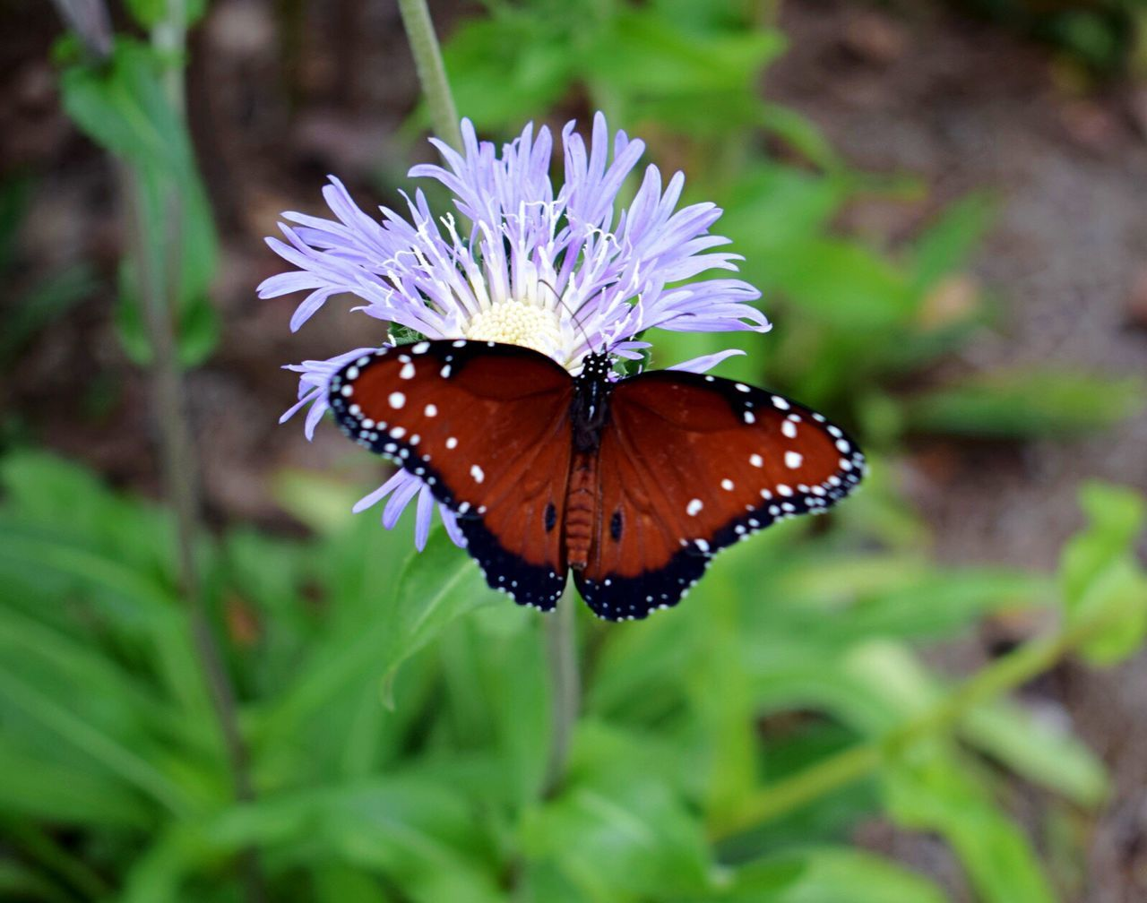 insect, one animal, animal themes, animals in the wild, butterfly - insect, nature, flower, growth, butterfly, no people, plant, beauty in nature, leaf, fragility, flower head, outdoors, close-up, day, freshness, pollination
