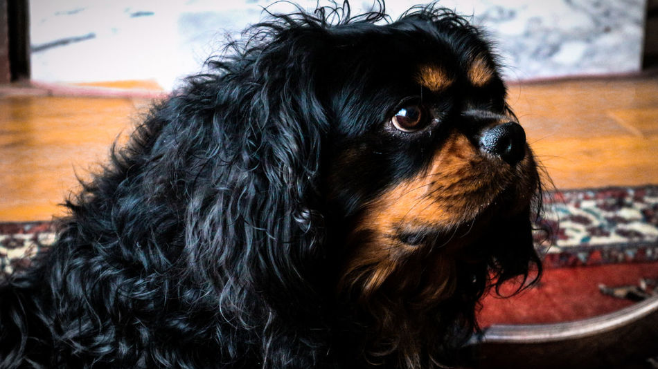Black Color Close-up Day Dog Domestic Animals Indoors  No People One Animal Pets