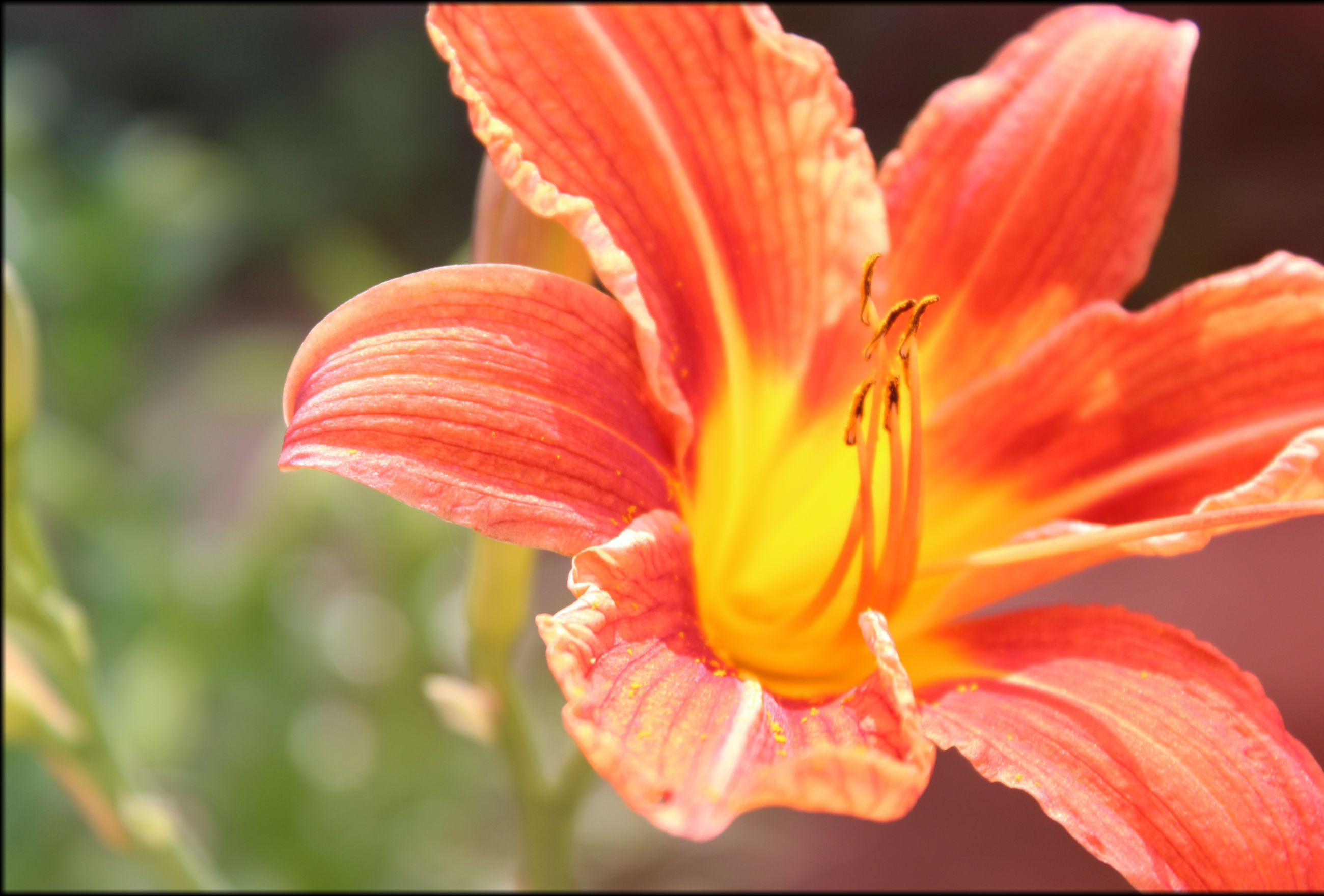 flower, petal, flower head, freshness, fragility, beauty in nature, close-up, growth, stamen, red, blooming, pollen, nature, focus on foreground, single flower, in bloom, plant, blossom, orange color, selective focus