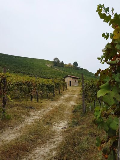 Agriculture Outdoors Rural Scene Day Landscape No People Sky Tree Nature Barolo Vineyards Vineyard Cultivation Vineyards In Autumn Vineyard Rural Building Small HouseBeauty In Nature Travel Destinations The Past Autumn Langhe Piedmont Italy Old Style