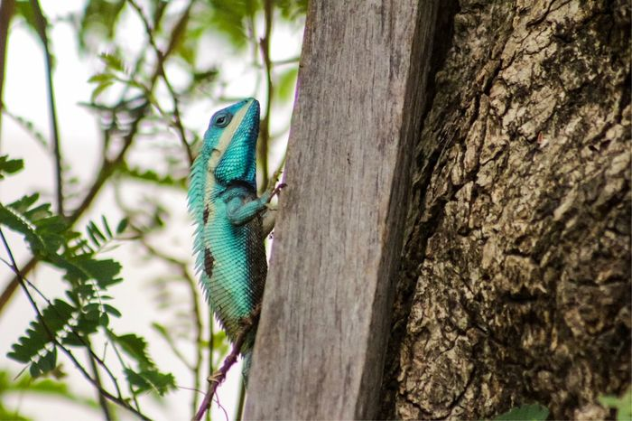 Blue Lizard One Animal Animal Themes Animals In The Wild Reptile Lizard Day Animal Wildlife Change Color