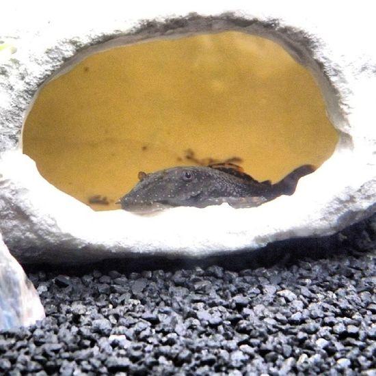 My new bristlenose pleco, toby. Fish Aquarium Water Bristlenose pleco tank tropical rock black chillin toby