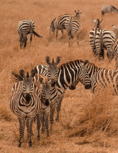 Kenya Masai Mara National Reserve Masai Mara Africa Safari Wildlife Animal Animals In The Wild Zebra Group Of Animals Animal Wildlife Striped Animal Themes Mammal Herd No People Nature Outdoors Herbivorous