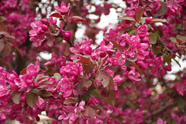 Flowering Plant Flower Plant Pink Color Beauty In Nature Fragility Vulnerability  Freshness Growth Close-up Petal Day Focus On Foreground Blossom No People Nature Springtime Flower Head Selective Focus Outdoors Bunch Of Flowers Spring Tree Branch
