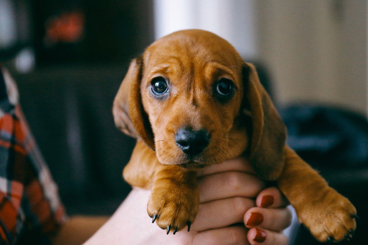 First day at home Animal Love At Home Close-up Dachshund Day Dog Domestic Animals EyeEm Animal Lover Human Body Part Human Hand Indoors  Lifestyles Looking At Camera Love One Animal One Person Pet Pet And Owner Portrait Puppy Real People Sausage Dog Women Pet Portraits