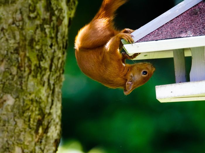 Eurasian red squirrel on birdhouse by tree