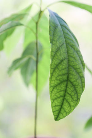Avocado Tree Plant Avocado Avocado Plant Beauty In Nature Close Up Close-up Day Focus On Foreground Fragility Freshness Green Color Growth Leaf Leaf Vein Leaves Natural Pattern Nature No People Outdoors Plant Plant Part Selective Focus Tranquility Vulnerability