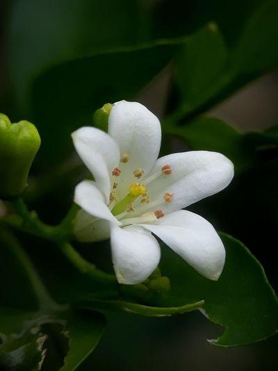 kemuning flower