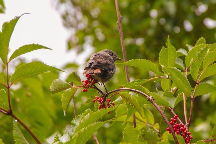 Bird Redberries