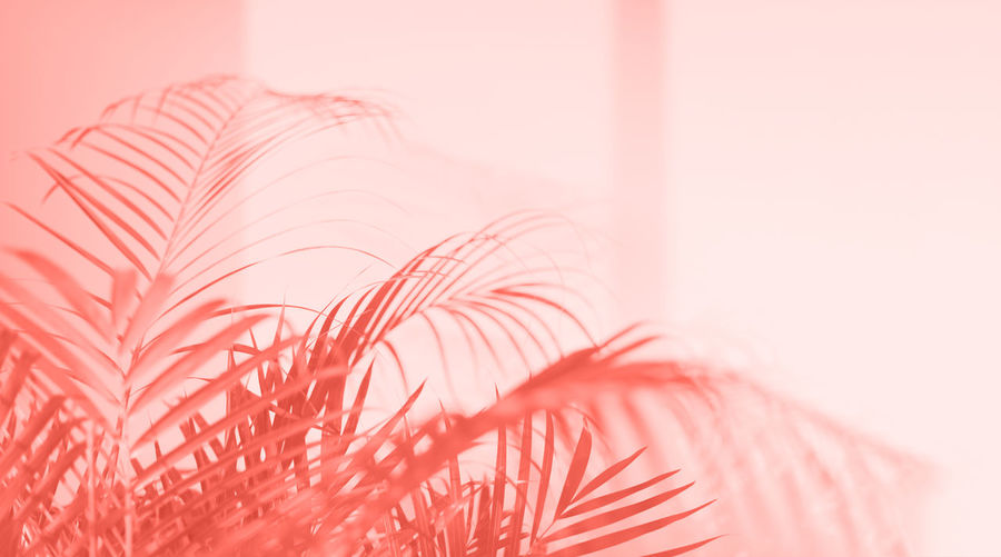 Living Coral Abstract Trendy Monochrome Backdrop Background Color Year Concept Design Trend Fashion Style Paint Pastel Coy2019 Copy Space Pink Creative Banner 2019 Shadow Palm Leaf Tree Plant Nature Branch Foliage Forest Texture Holiday Summer Exotic Leaves Laying Effect Environment Flora Jungle Light Natural Pattern Reflection Silhouette Tropic Wallpaper Sunshine Blur