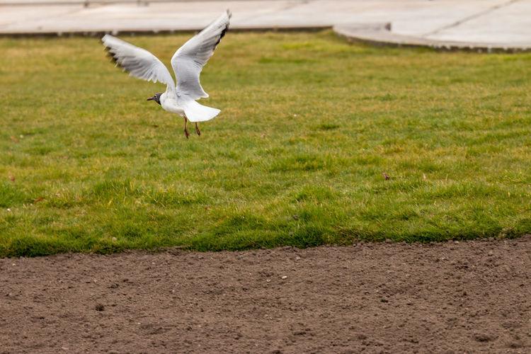 Seagull flying over land